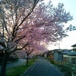 りんりんロードの北条の桜(2)