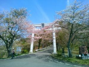 愛宕山の鳥居の桜