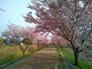 りんりんロードの上大島付近の桜