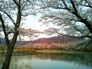北条大池の桜(2)