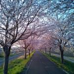 りんりんロードの桜並木(北条付近)
