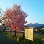 りんりんロードの北条の桜(1)