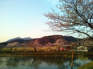 北条大池の桜(1)